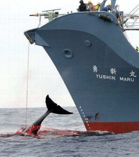 immagine caccia alle balene